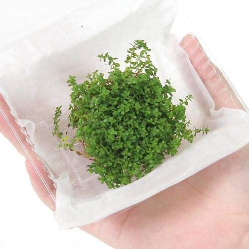 (水草)ニューパールグラス(水上葉)(無農薬)(3パック分) 北海道航空便要保温