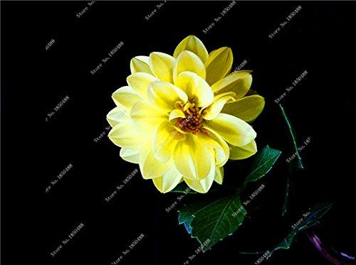 Double Dahlia Seed Mini Mary Fleurs Graines Bonsai Plante en pot bricolage jardin odorant Fleur, croissance naturelle de haute qualité 50 Pcs 19