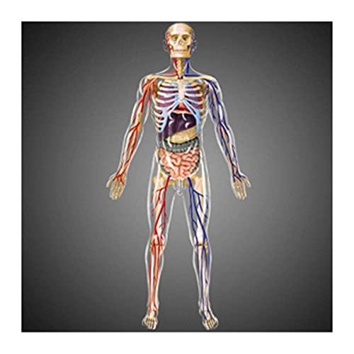 JKFZD Modelo de Cuerpo del Torso Humano Anatomía Anatomía Anatómica órganos internos para la enseñanza Modelo de Ciencia médica Desmontable (Size : 34x15.5x5.5cm)