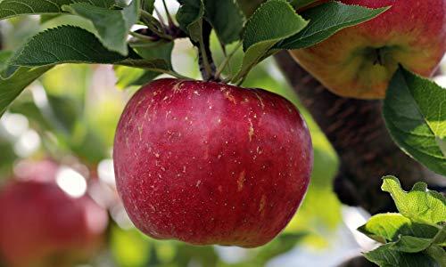 Cortland Apple Tree: 2 Years Old / 4-5 Feet Tall