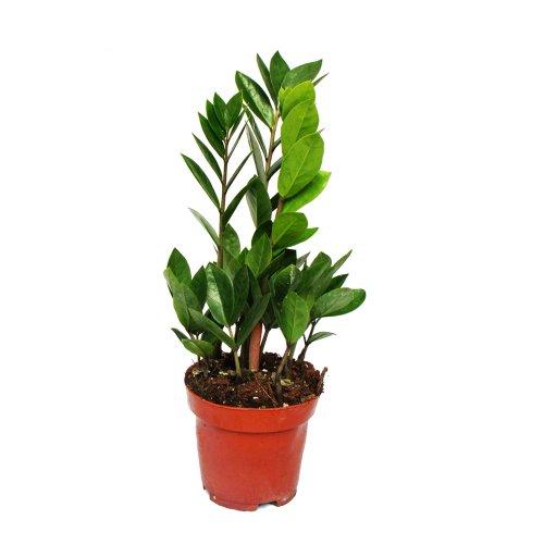 Exotenherz - Zamioculcas zamiifolia - Zamio Palme - Zamio Farn 12cm Topf