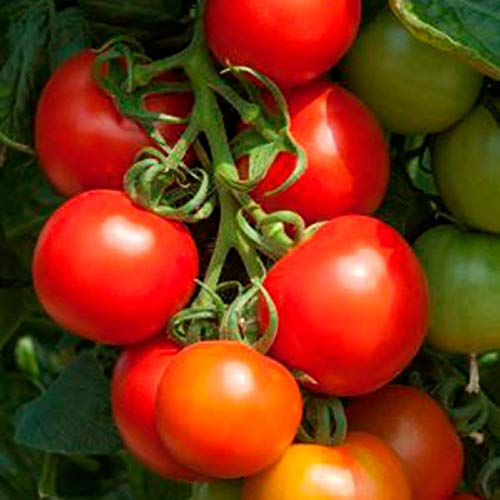 Kings Seeds F1-10 Graines de tomates