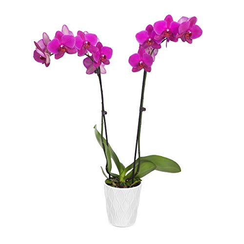 """Just Add Ice 304209 Orchid Easy Care Live Plants, 5"""" Diameter, Purple"""