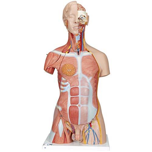 3B Scientific Menschliche Anatomie - Zweigeschlechtiger Luxus-Muskel-Torso, 31-teilig + kostenloser Anatomiesoftware - 3B Smart Anatomy