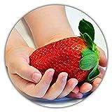 Fragole giganti - Fragaria Ananassa - Semi di fragole - 150 semi - La più grande fragola del mondo - Sapore intenso - Ricco di vitamine