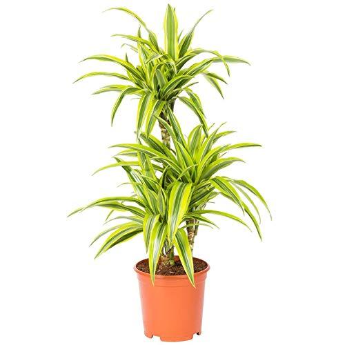 Pflanzen Kölle Drachenbaum, Dracaena deremensis 'Lemon Lime' 3er-Tuff, Höhe 90 cm, Topf 21 cm