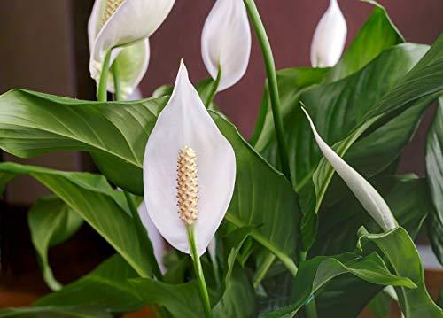100Pcs Spathiphyllum Samen Topf Samen Blumensamen Bonsai Pflanze Mischfarben Rate Sprießen 95% Samen wachsen * Strahlungsabsorption