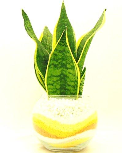 観葉 植物 サンセベリア ハイドロカルチャー ガラス植え M 黄オレンジ お手入れ簡単 室内で安心な土を使わない水耕栽培 お部屋にグリーンを置いてきれいな空気でリラックス