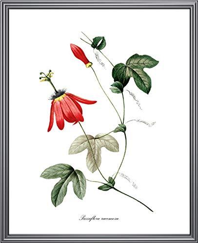 Rote Passionsblumen Druckbare PJ Redout Botanische Illustration Passiflora racemosa Wandkunstdruck