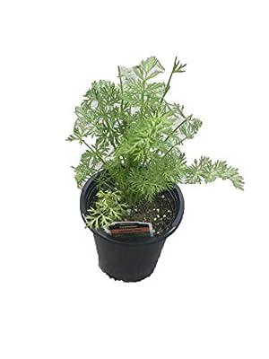"Live 4.5"" Herb"