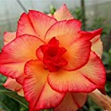 8 Double Red and Yellow Desert Rose Seeds Adenium Obesum Exotic Tropical Flower Seed Flowers Bloom