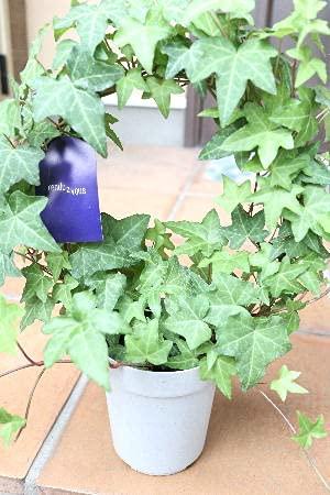 観葉植物 ヘデラ アーチ仕立て 緑葉 4号サイズ