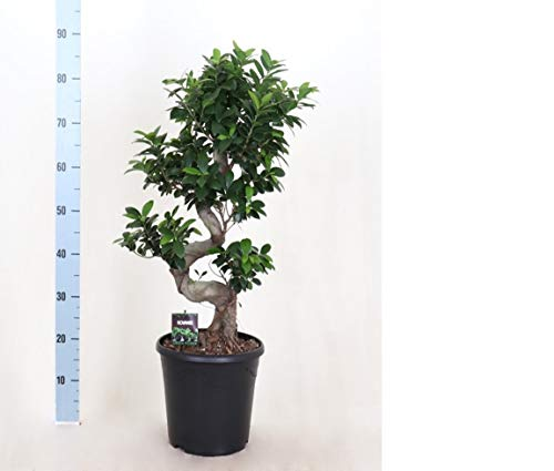 Ficus Microcarpa Ginseng Bonsai 90cm - Plantas de interior Bektas Flowers and Plants