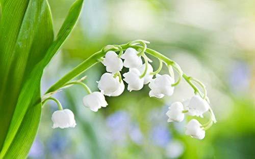 200 semillas piezas de Bell del lirio de orquídeas raras de