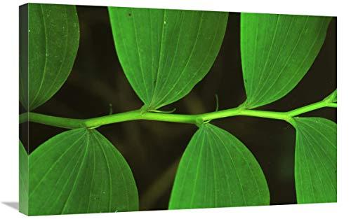 "Eurasian Solomon""s Seal detail of leaves, medicinal plant, Europe-Canvas Art-30""x20"""