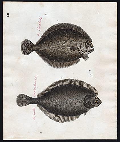 Steinbutt turbot / linke Stachelflunder - Fisch fish Fische (Tafel LI)
