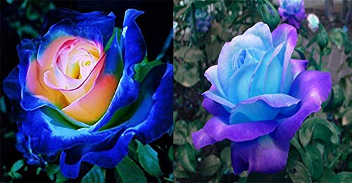 Daisy Garden Rare Blue Pink Roses Plant Seeds Balcony Garden Potted Rose Flowers Yard Decor