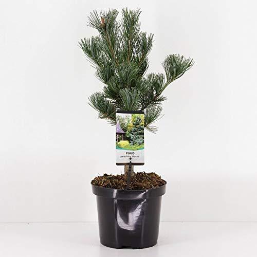 Blaue Mädchenkiefer - Pinus parviflora Glauca - Gesamthöhe 50-60 cm - 3 Liter Topf