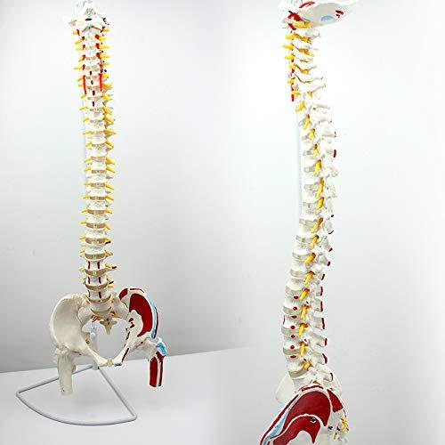 Wirbelsäulenmodell, Life Size Spine Anatomisches Modell Modell mit Becken, Femur und Muskel Start- und Endpunkte