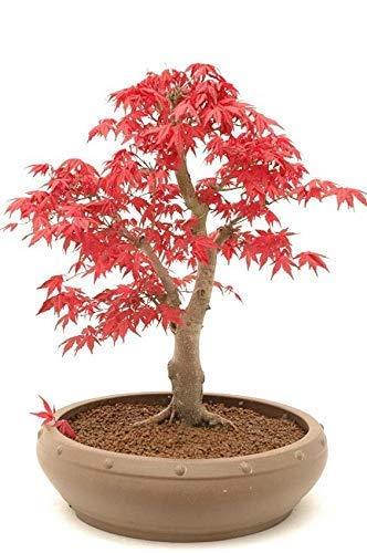 Érable rouge du Japon/Érable en éventail / 10 graines/bonsaï