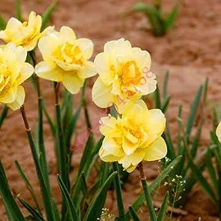 AGROBITS semillas 100pcs narciso (no bulbos de narcisos), semillas de flor del narciso plantas acuáticas, flor perenne para las mini plantas de jardín: 4