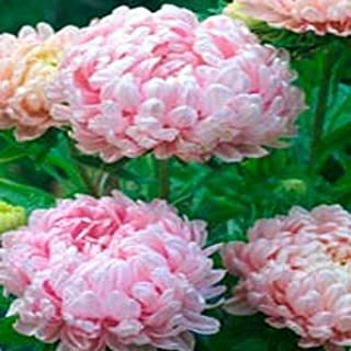 Outsidepride Apricot Paeony Aster Flower Seed - 1000 Seeds
