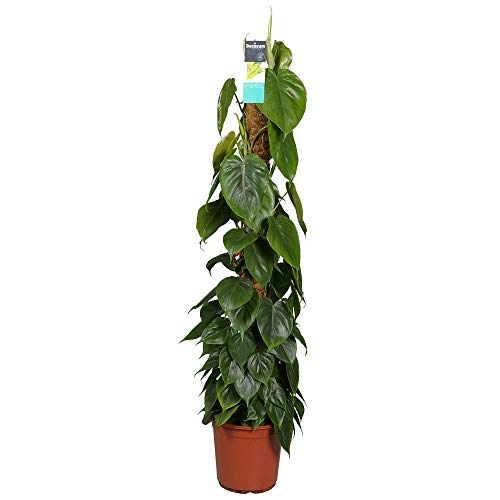 Philodendron scandens | Kletternder Philodendron inkl. Moosstock| Höhe 80-90cm | Topf-Ø 19cm
