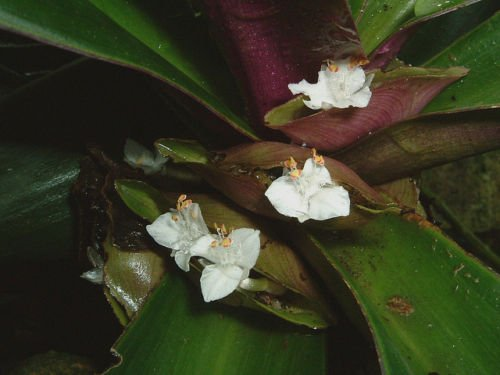 Oyster Plant, 'Moses in the Bullrush' (Rhoeo spathacea) plant