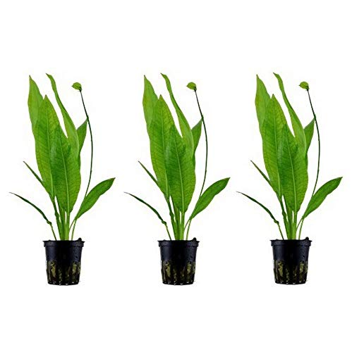Aquarium Pflanze 3 Stück Echinodorus bleheri Wasserpflanze Nr.071 Aquariumpflanzen Set