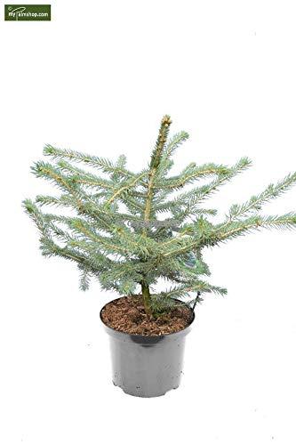 Blaufichte Stechfichte - Picea pungens Glauca - 60-80cm im 5 Ltr. Topf