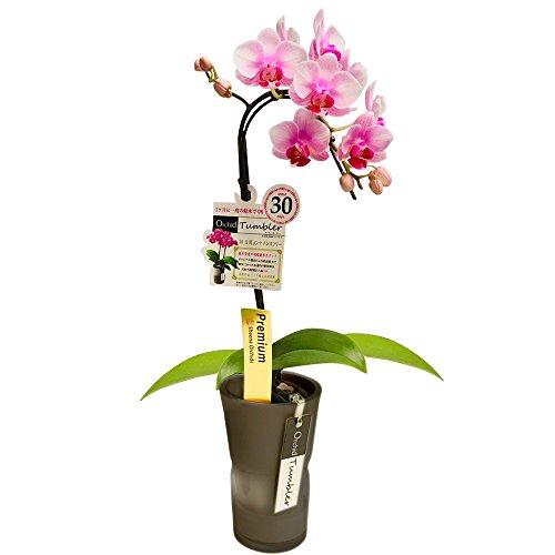 【母の日受付締切5/1】ミニ胡蝶蘭 タンブラースリムポット3号鉢植え 1本立て /お中元 ギフトに花のプレゼント 開店祝いに 母の日 (花ライトピンク鉢ブラック)