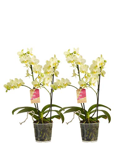 Orchideen von Botanicly – 2 × Schmetterlingsorchidee gelb – Höhe: 50 cm, 2 Triebe, weiße Blüten – Phalaenopsis multiflora