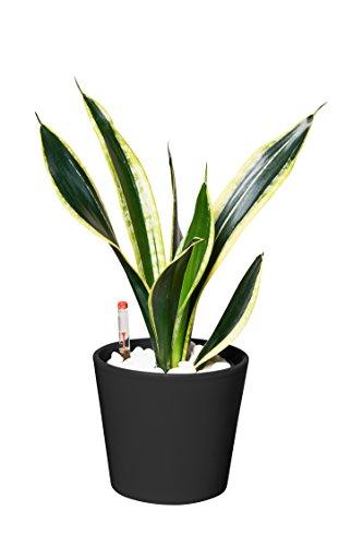 EVRGREEN | Zimmerpflanze Bogenhanf in Hydrokultur mit schwarzem Topf als Set | Schwiegermutterzunge | Sansevieria trifasciata Superba