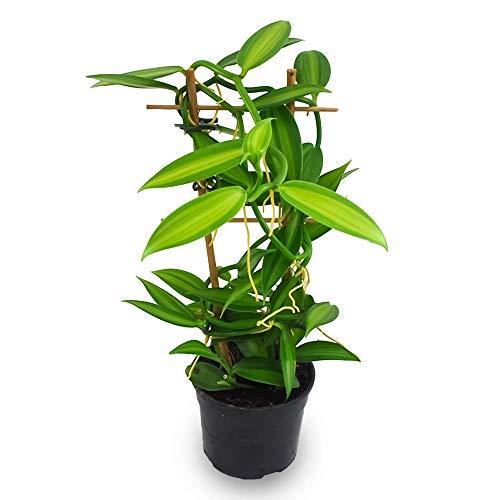 VANILLE-ORCHIDEE, Orchidee, Gewürzvanille, Pflanze für den Innenbereich, echte Pflanze