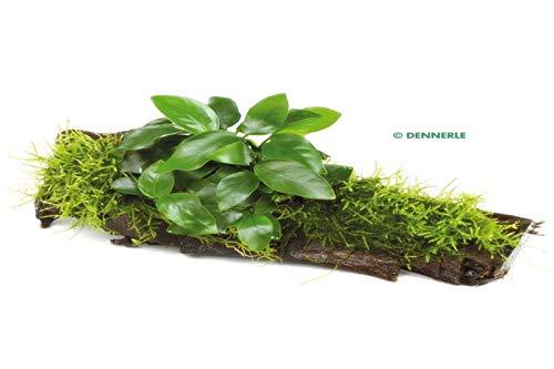 Deko im Trend Wasserpflanze Anubias barteri Nana mit Moos auf Wurzel