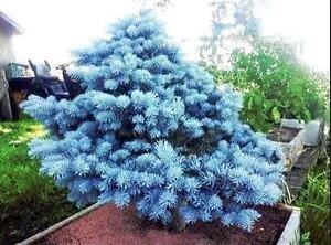 Semillas Semillas Bonsai azul Abeto Picea pungens Árbol de hoja perenne 100 partículas / bolsa 10