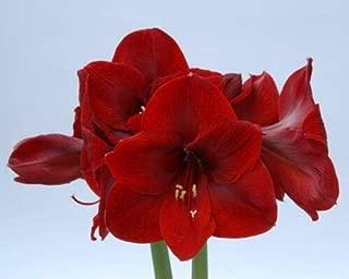 1 Bulb of Amaryllis Dutch Carmen Hippeastrum, Size 36