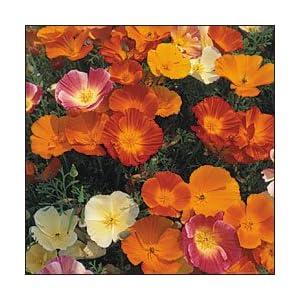 PREMIER SEEDS DIRECT - California Poppy - Single Mix - 2000 Flower Seeds