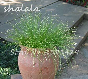 Potseed 200 PC Multi Color Garten Ziergrassamen Schöne Grassamen, Samen, natürliche Wachstum, die Keimungsrate 95% 19