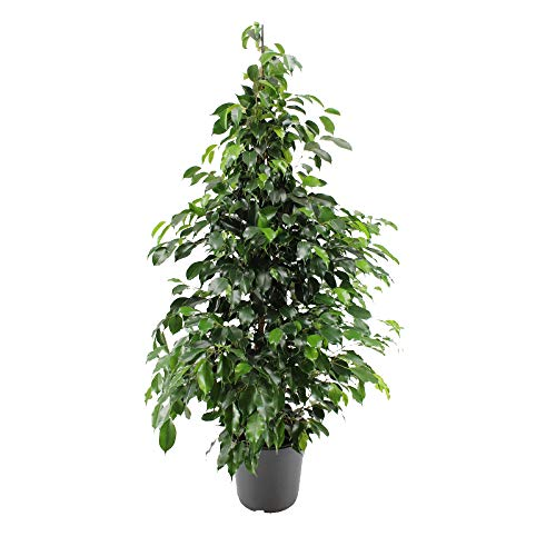 "Ficus benjamina ""Danielle"" | Birkenfeige Zimmerpflanze groß | Höhe 100-110 cm | Topf-Ø 21 cm"