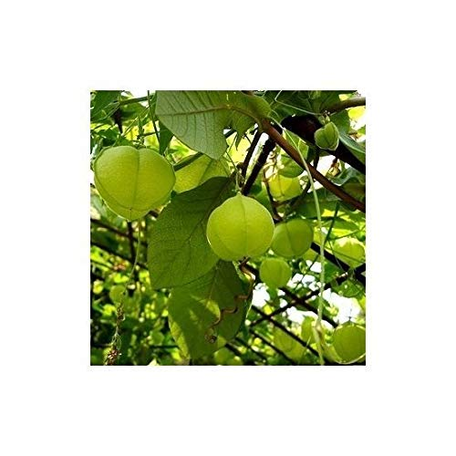 Liebe in einem Puff, Luftballon Plant - Ballonrebe - - 14 Samen