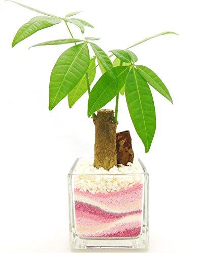 観葉植物 パキラ ハイドロカルチャー ガラス植え 角S ピンク2 お手入れ簡単 ギフトに最適 室内で安心な土を使わない水耕栽培 お部屋でグリーンを置いてきれいな空気でリラックス