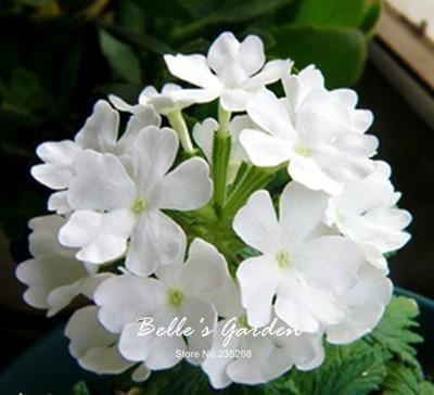100pcs multi-couleurs Variété Verveine Graines Hardy Plantes Graines de fleurs exotiques Fleurs ornementales Graines Bonsai 03