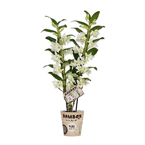 Orchidee von BAMBOO ORCHID – Bambus Orchidee – Höhe: 50 cm, 2 Triebe, weiße Blüten – Dendrobium nobile Apollon