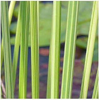 (ビオトープ)水辺植物 タテジマフトイ(1ポット) 抽水植物 (休眠株)