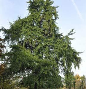 Fächerblattbaum 30-40cm - Ginkgo biloba