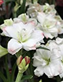 White Amaryllis Bulbs Hippeastrum Bulbs (8 Bulbs) Rare Perennial Flowers Bonsai Potted Summer Blooming Garden Balcony Decoration