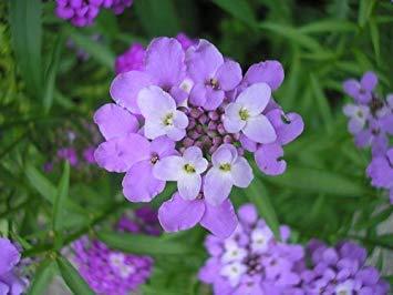 Blumensamen 100pcs Balkon Pflanze Blume Topf Iberis Amara Samen Outdoor Plants Garten Dekoration y11