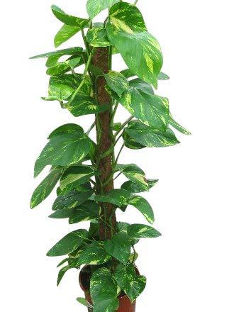 luftreinigend rankend am Moosstab gezogen Epipremnum aureum Scindapsus, Efeutute gelb gr/ünes buntes Blattwerk ca. 75cm hoch im 19cm Topf