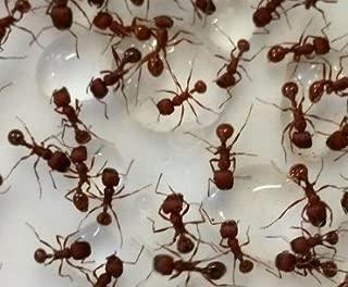 ants for uncle milton ant farm